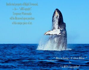 """Breaching"" Humpback Whale Play C-B&W ArtPhoto Dig-FILES, Prints, FrameReady LE"
