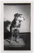 PHOTO ANCIENNE N&B Grand Chien Portrait Table Vers 1950 Animal Flash Studio