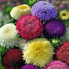 Flower seed - CHINA ASTER POWDERPUFFS MIX * DOUBLE BLOOMS *