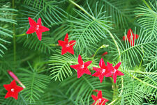 Crimson Cardinal Vine Seeds Annual Fast Growing  Climber Very Long Bloom Season