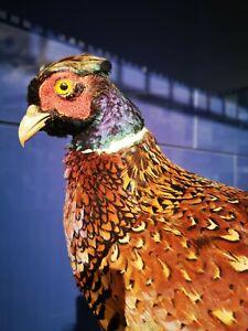 TAXIDERMY Great Pheasant Mounts Bird European Real Stuffed