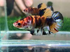New listing [Ngf - 0997] Live Betta Fish Giant Nemo Female
