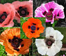 ORIENTAL POPPY MIXED COLORS PERENNIAL Papaver Orientale - 6,000 Bulk Seeds