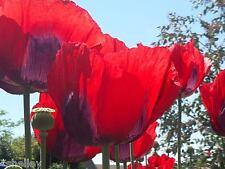Papaver Somniferum Poppy Seeds - WIZARD of OZ - Big Red Poppy *Shelley Original