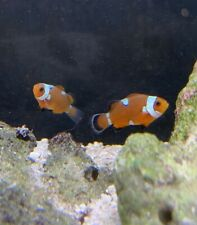 Pair of Black Ice Misbar Clownfish Marine Fish Reef Aquarium