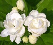 Flower pots planters 100 seeds white Jasmines seeds Sweet soul Jasmine seeds