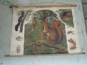 Eichhörnchen  Rollkarte Schulwandkarte  115 cm x 80 cm# 30
