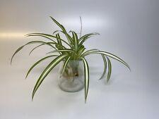 Live spider plant Chlorophytum comosum Easy To Grow!