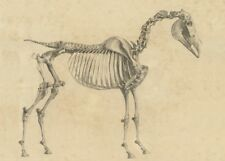 Horse skeleton, side view by George Stubbs, 1766, Anatomy of the Horse Poster