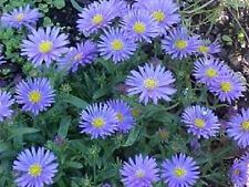 50 WONDER OF STAFFA ASTER Aster Frikartii Flower Seeds + Gift & Comb S/H