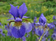 Iris siberica x 20 fresh seed