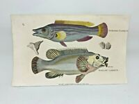 Original 1803 Shaw Hand Colored Copperplate Engraving Fish - Labrus