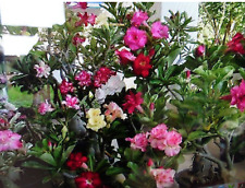 Desert Rose (Adenium Obesum) with Double Flowers - 25 Mixed Seeds/Pack