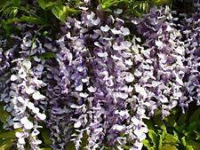 Chinesischer Blauregen Wisteria sinensis Pflanze 45-50cm Glyzine Glyzinie