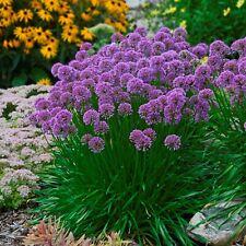 sun allium MILLENNIUM purple ornamental onion 2.5