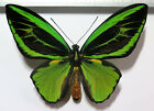 Ornithoptera priamus poseidon male, aberration  *Arfak*
