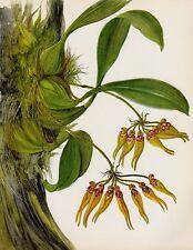 Botanical Flower Print Vintage Orchid Wall Art Cottage Decor Bulbophyllum 2118