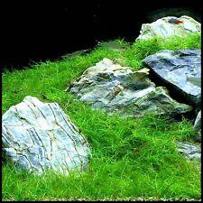 LIVE CARPET PLANT eleocharis parvula Bunch Dwarf Hairgrass AQUARIUM TROPICAL
