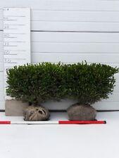 2x Buchsbaum Fertighecke 50*50*20cm, fur 1 Meter Hecke! Sehr günstig! Nur €29,95