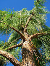 30 MEXICAN WEEPING PINE TREE Evergreen Pinus Patula Seeds + Gift & Comb S/H
