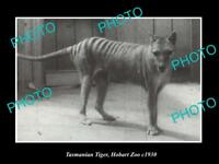 OLD LARGE HISTORIC PHOTO OF A TASMANIAN TIGER IN CAPTIVITY, HOBART ZOO c1930