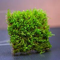 7x7cm Flame Moss Pad -Live Aquarium Fish Tank Water Plants -Low Light & Co2 Tank