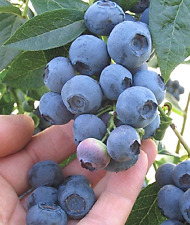 ☆GIANT☆High-bush☆BLUEBERRY☆50-Finest Seeds♡*☆*Hardy Winter*5-7 kg From One Bush☆