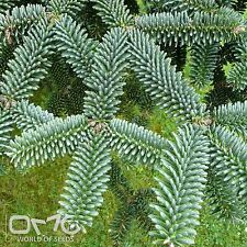 SPANISH FIR (Abies Pinsapo) 10+EXTRA seeds (#786)