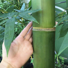 Japanese Mature Bambusa Giant Timber Bamboo Clumping Non-Invasive Root Division