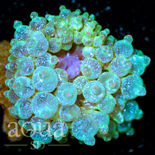 ASD - 107 Flying Dutchman Bubble Anemone - WYSIWYG - Aqua SD Live Coral Frag