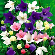 200 Pcs Balloon Flower Seeds Bellflower Platycodon Perennial Garden Home Plant
