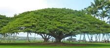 20-SAMANEA-SAMAN-RAIN-TREE-SEEDS-MONKEY-POD-STUNNING-EXOTIC-TREE-FRESH-SEED RARE