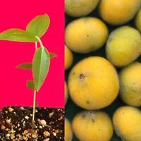 Yellow Jaboticaba Cabelluda Myrciaria Glazioviana Plinia Glomerata Tree Plant