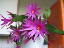 5x Osterkaktus Hatiora Ableger lila rot rosa weiß orange