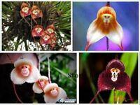 100pcs 5 kinds Cute Monkey Face Orchid Seed Monkey Orchid Bonsai plants Flowers