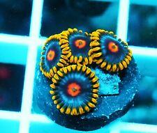 Gwc Blue Magic Zoa Palythoa Zoanthids Paly Zoa Soft Coral Wysiwyg