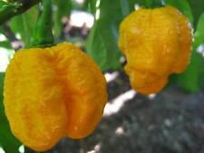 7 POD YELLOW pure seeds