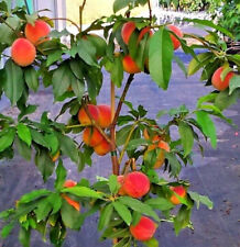 Prunus persica talaia 'Peach Me' Red Balcony Peach Organic Fruit Tree Perennial