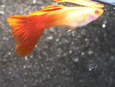 One Trio of live ALBINO JAPANESE RED DELTA GUPPIES