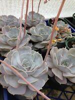 ECHEVERIA LILACINA Rare Colourful Mauve Large Succulent Plant