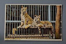 R&L Postcard: Bristol Zoo Tigers, Harvey Barton