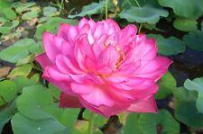 *Rare seeds*Nelumbo Nucifera Rosea Plena*edible tubers*Lotus* 2 seeds*