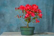 Vibrant 'Red' Bougainvillea pre-bonsai! Flowers Year-Round!