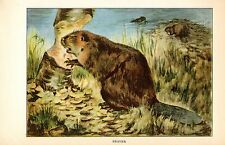 "1926 Vintage ANIMALS ""BEAVER"" GORGEOUS COLOR Art Print Plate Lithograph"