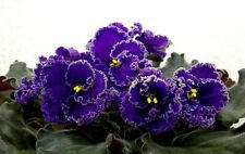 African Violet If Chernoe More ( Black Sea) Rus / Ukr ,plant in 3 oz cup
