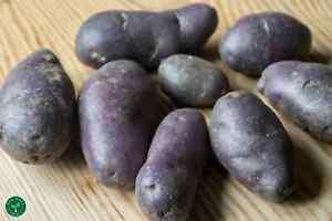 2 roots of Black Potato - SOLANUM TUBEROSUM + GIFT 5 seeds Sunflower