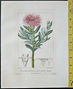 Bessa,P.Flore des Jardiniers,Mesembrianthemum denticulatum,handc.Engrav.ca.1836