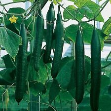 Seeds Cucumber Pcheloopylyayemyy Zozula - F1 Organically Grown Russian Vegetable