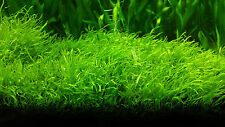 Live Aquarium Plants Utricularia graminifolia fresh water Us seller expediated