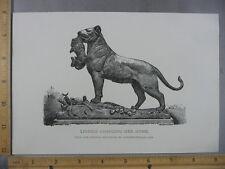 Rare Antique Original Auguste Nicolas Cain Lioness Changing Her Home Art  Print